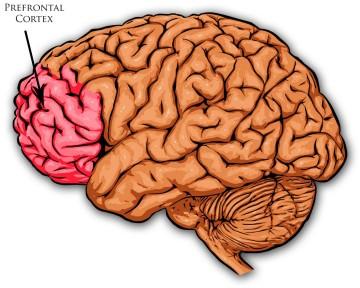 Image result for prefrontal cortex